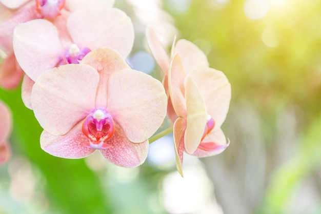 Orchideebloem in orchideetuin bij de winter of de lentedag. phalaenopsis orchidee.