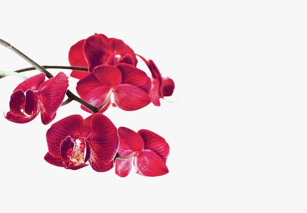 Orchideebloemen op wit worden geïsoleerd dat