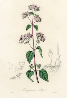 Oregano (origanum vulgare) illustratie van medical botany (1836)