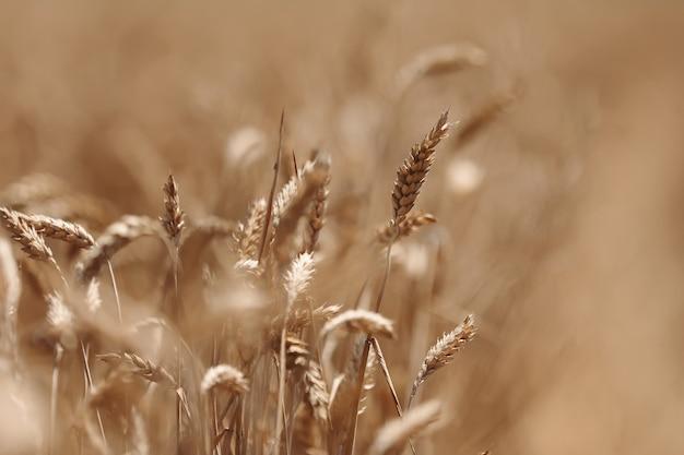 Oren van gouden tarwe in een veld