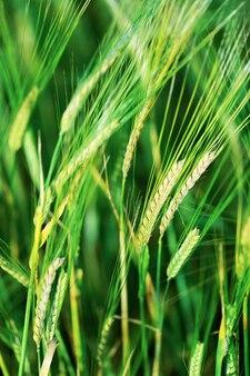 Oren van graan gewassen van rogge in het veld