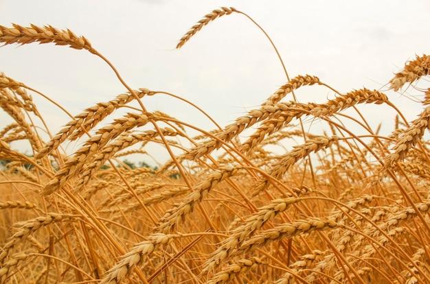 Oren van rijpe tarwe groeien in een tarweveld