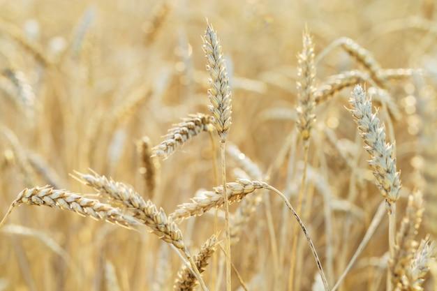 Oren van rijpe tarwe. tarweveld, landbouwgrond, natuur, milieu. rijke oogst van graangewassen. selectieve aandacht.
