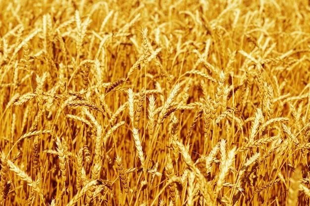 Oren van rijpe tarwe tegen blauwe lucht tarweveld landbouwgrond natuur milieu rijke oogst