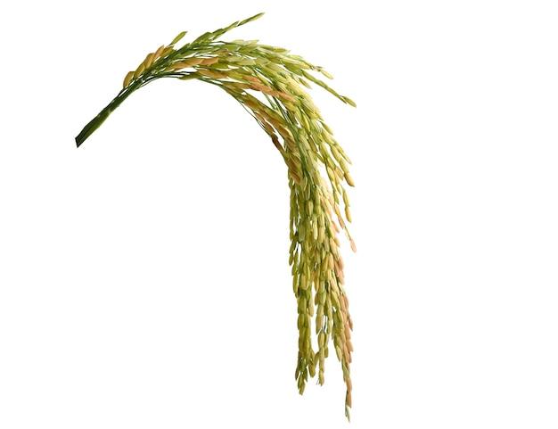 Oren van rijst geïsoleerd op witte achtergrond