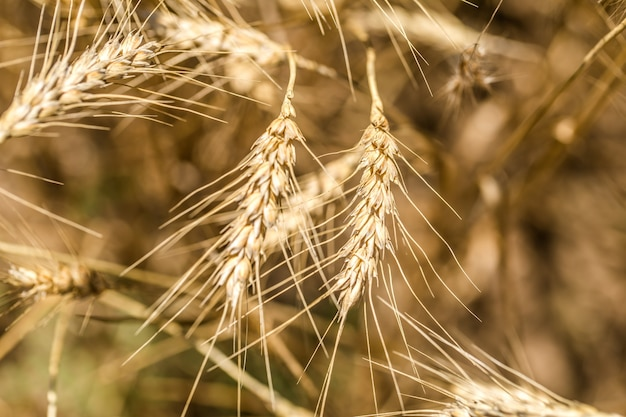 Oren van tarwe close-up op het veld, het concept van landbouw en natuur