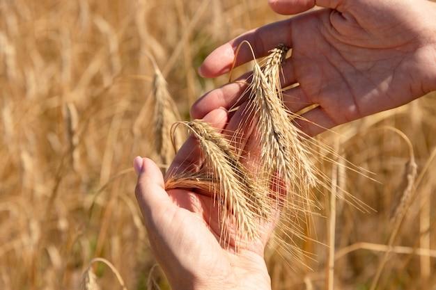 Oren van tarwe in de handpalmen van het meisje tegen de achtergrond van een tarweveld.