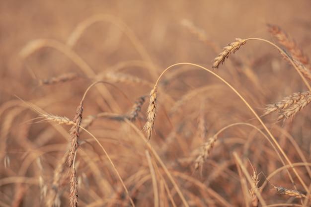 Oren van tarwe of rogge groeien in het veld bij zonsondergang. veld van rogge tijdens de oogstperiode in een landbouwgebied. achtergrond van rijpende oren van tarweveld. rijk oogstconcept. labelkunstontwerp