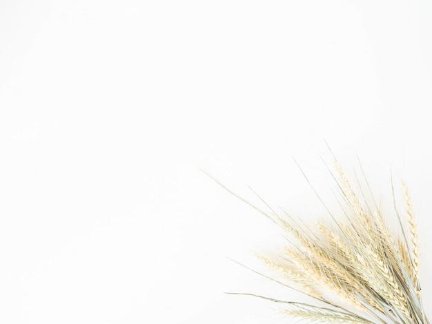 Oren van tarwe van een lichtgroene pastelkleur op een witte achtergrond