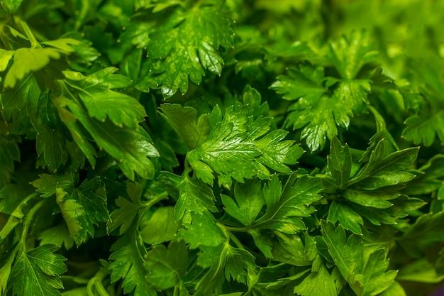 Organische italiaanse peterselieclose-up op rustieke houten lijst, gezond vegetarisch voedsel