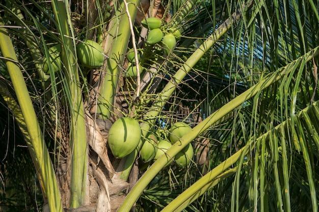 Organische kokospalmen met een bos van vruchten.