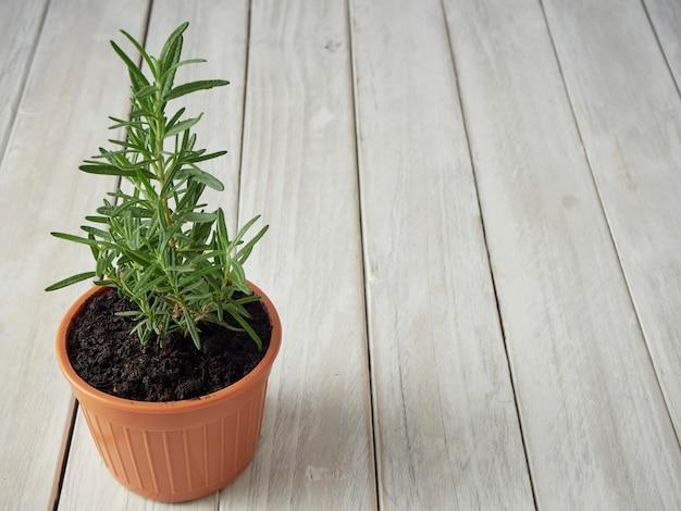 Organische rozemarijn geplant in potten geplaatst op een witte houten vloer met een kopie gebied.