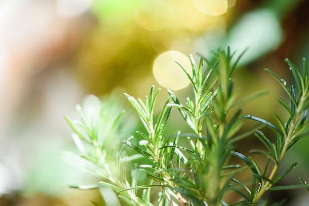 Organische rozemarijnplant groeit in de tuin voor extracten etherische olie / verse rozemarijnkruiden natuurgroen