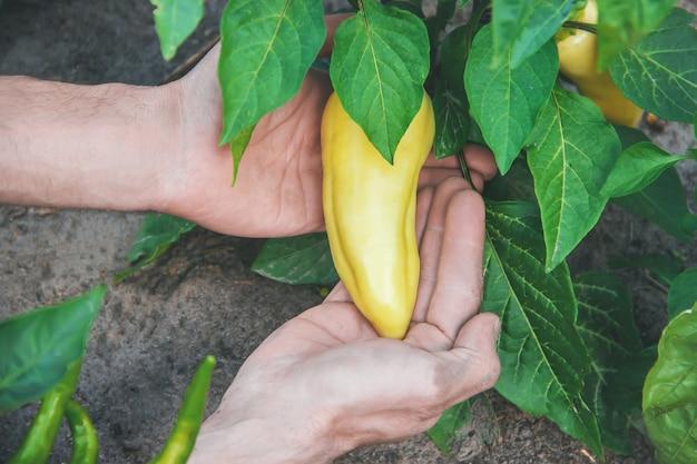 Organische zelfgemaakte groenten in de handen van mannelijke pepers.