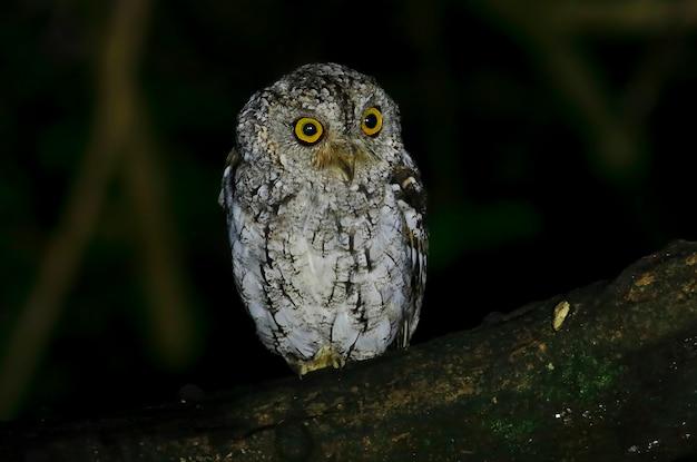Oriental scops-owl otus sunia prachtige vogels van thailand