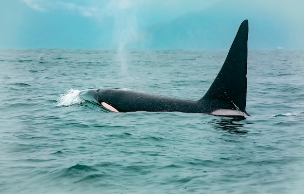 Orka walvissen die zeeleeuw raken