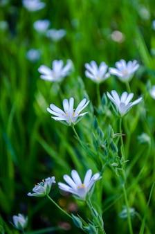 Ornithogalum bloemen. mooie witte bloemen in het forest