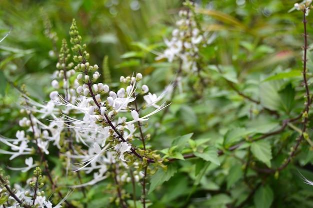 Orthosiphon aristatus van famili lamiaceae / labiatae.