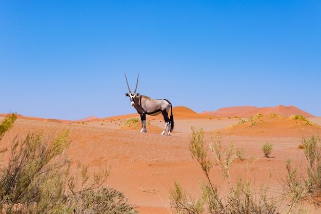 Oryx in de kleurrijke namib-woestijn van het majestueuze nationale park van namib naukluft, beste reisbestemming in namibië, afrika.