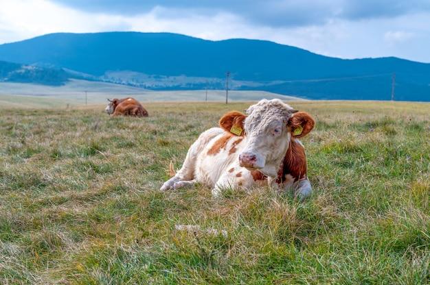 Os met hoorns op het grasveld op het platteland