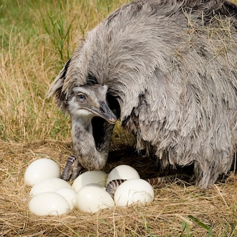 Ostrich chick voor een witte achtergrond