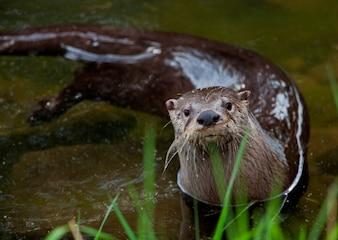 Otter die in ondiepe rivier zwemmen die nieuwsgierig peering