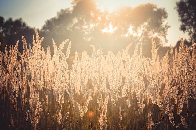 Oud droog gras zwaait in de wind, afgezwakt, filter