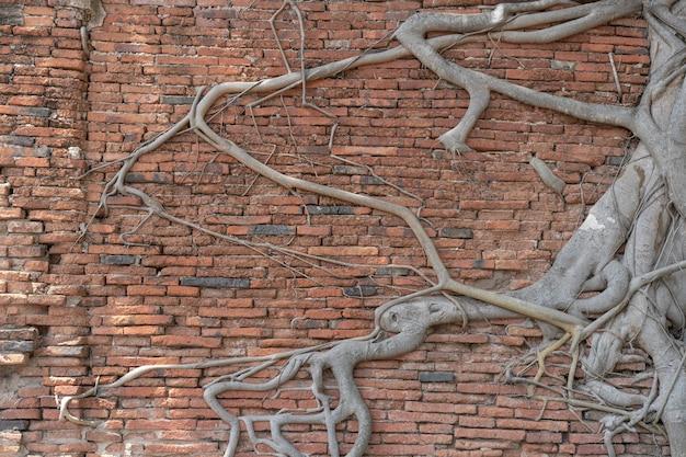 Oude bakstenen muur, ruïnes met groeiende banyanboomwortels.