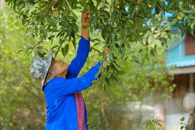 Oude boer oogsten van fruit in een boerderij