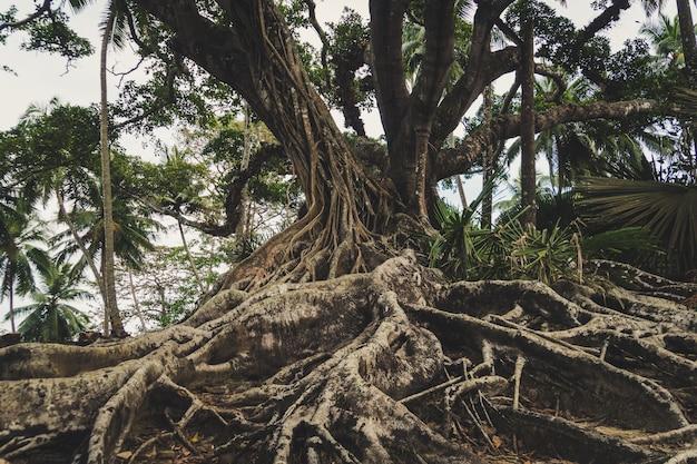 Oude boom met grote wortels in het dichte struikgewas van de jungle in zuidoost-azië.