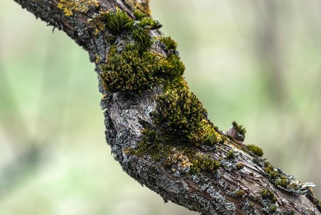 Oude boomstam met mos en korstmos