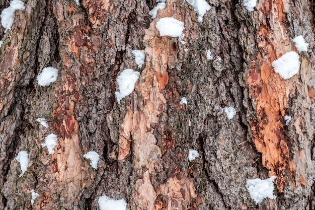 Oude bruine pijnboomschors met wat sneeuw