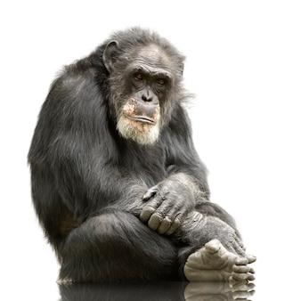 Oude chimpansee - simia holbewoners