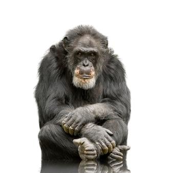 Oude chimpansee - simia holbewoners Premium Foto