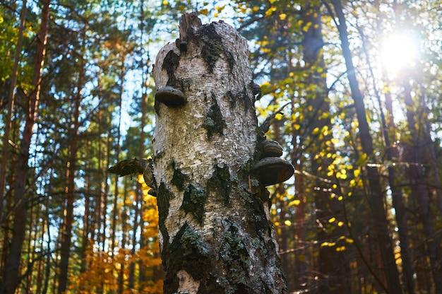 Oude dode berk in het bos met een groeiende schimmel.