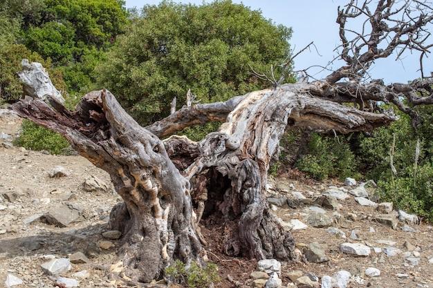 Oude dode olijfboom oude dode olijfboom op voorgrond. onheilspellende oude dode boom met een ongebruikelijke vorm