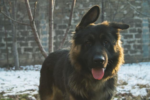 Oude duitse herdershond met zijn tong uit in een besneeuwd gebied met een vage achtergrond