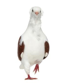 Oude duitse uil duif lopen, geïsoleerd op wit