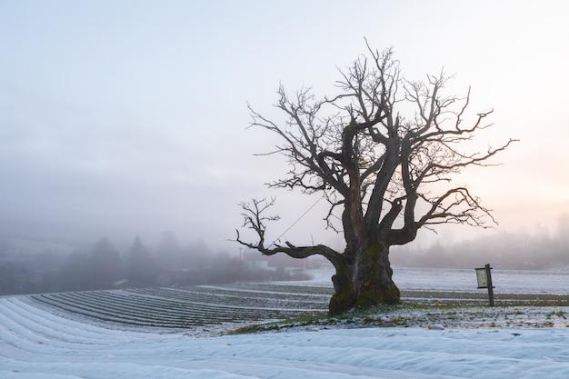 Oude eik in de winterlandschap met mist. mollestadeika. een van de grootste eiken in noorwegen.