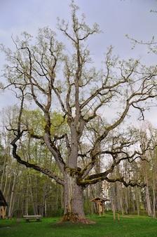 Oude eik is een van de grootste grote eiken in letland. de oudste eik in letland. het groeit in seya, seja.