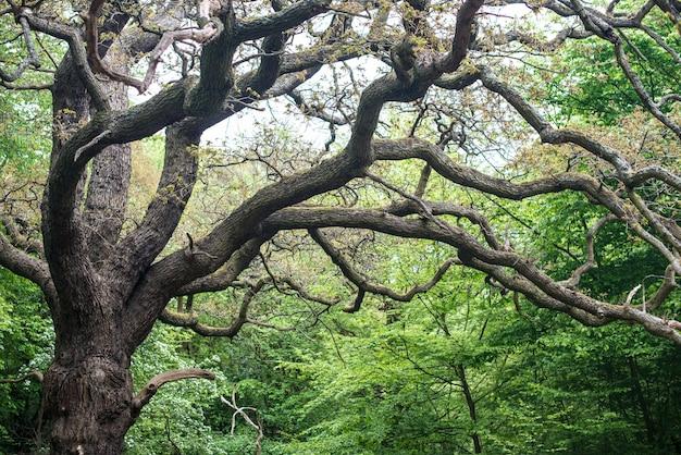 Oude eiken in de tuin. grote eikenboom met outreachende takken