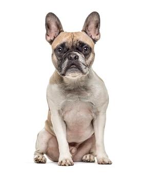 Oude franse bulldog zitten, geïsoleerd op wit