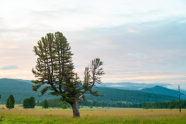 Oude gigantische ceder op heuvel.
