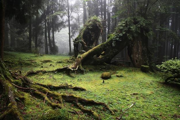 Oude grote boom bij alishan nationaal parkgebied in taiwan