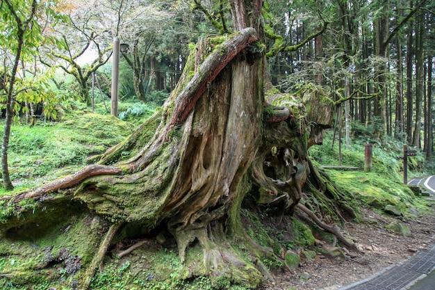 Oude grote boom bij alishan nationaal parkgebied in taiwan.