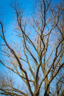 Oude grote boomtakken over duidelijke blauwe hemelachtergrond.
