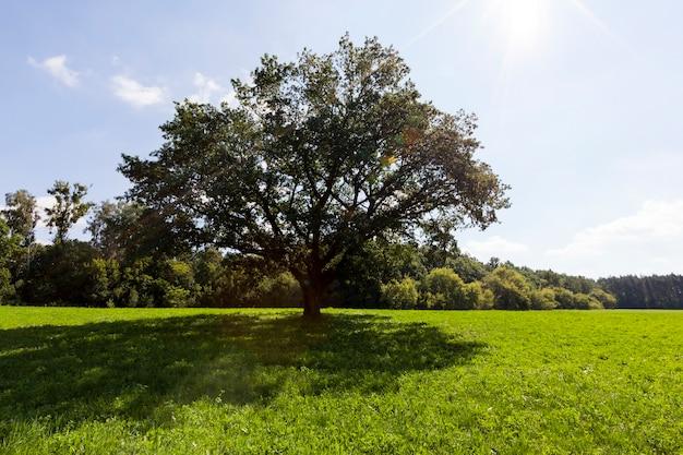 Oude grote eik met een groene kroon die in de zomer groeit en wordt verlicht door zonlicht, een zomerlandschap
