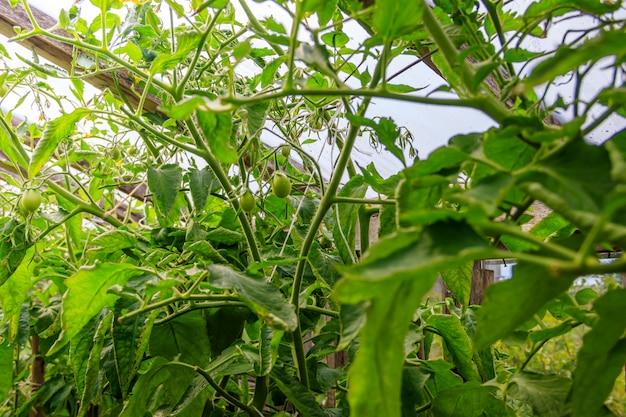 Oude houten kas. huishouden. groenten verbouwen en oogsten.