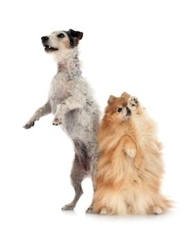 Oude jack russel terrier en spitz voor witte achtergrond