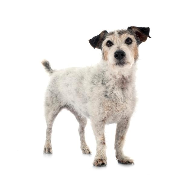 Oude jack russel terrier voor witte achtergrond